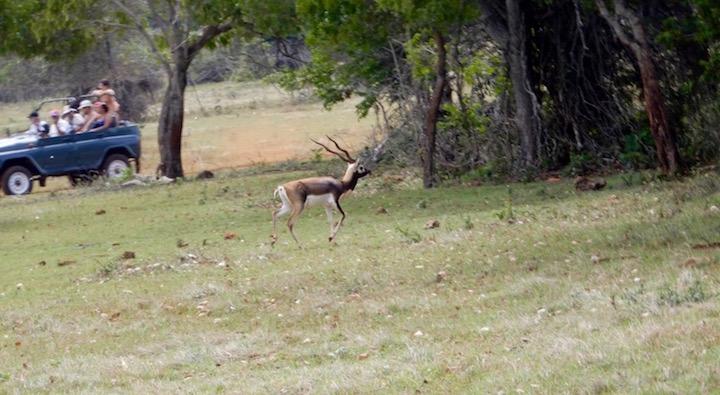 safariantilope