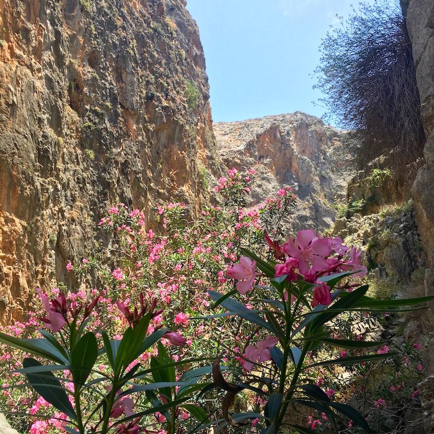 Photo 3. Les lauriers en fleurs au printemps dans les gorges de Samaria
